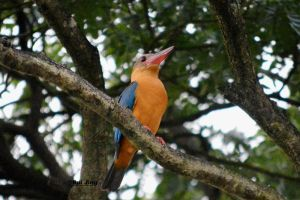 Stork Billed Kingfisher by GreenNexus51