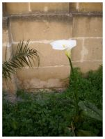 Calla in Tarxien, Malta by sunshishi
