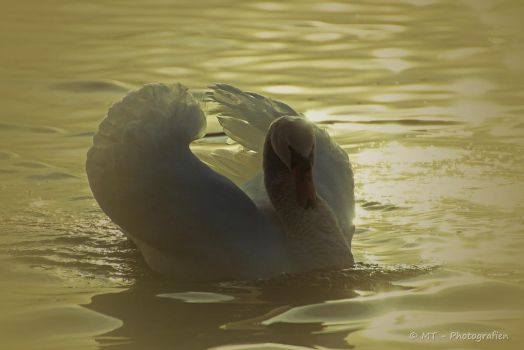swan romance 10 by MT-Photografien
