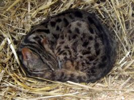 2014 - Asian leopard cat 5 by Lena-Panthera