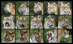 Tiger head angles by amandas-sketches