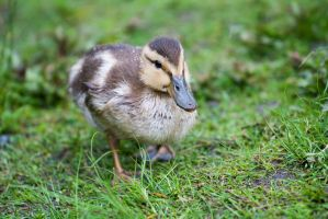 baby duck II by davidst123
