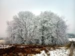 frosted shrubbery by Mittelfranke