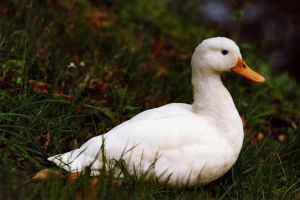 Duck by CitizenJustin