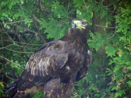 Young Bald Eagle 5 by Malakhite