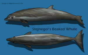 Stejneger's Beaked Whale by Morgan-Michele
