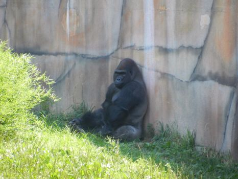 Gorilla At The St. Louis Zoo by TheBigMC