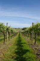Vineyard 3 by FallowpenStock