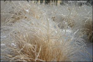 Ice Grass by Nariane