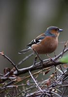 Chaffinch by BlonderMoment