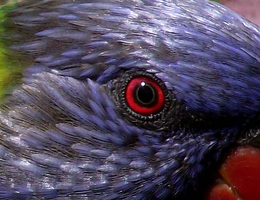 The Eye of the Rainbow Lorikeet by BGai
