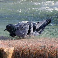 Pidgeon at the bath by Metalelf0