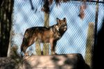Mexican Wolf 005 by FoxWolfPhoto