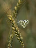 Butterfly In Wheat - I by InayatShah