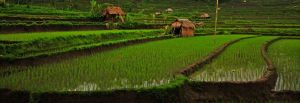 rice terraces bali 9 by worldpitou