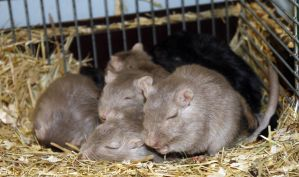 Sleepy Gerbil Family by KlomZy