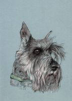 Mini schnauzer portrait by clotus