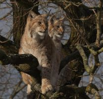 lynx and cub by Malmborg