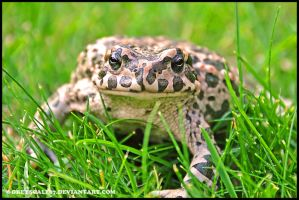 European Green Toad 2 by Greyscale87