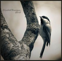 Slick and Sleek Chickadee by mariquasunbird1