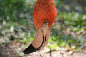 Flamingo Face by Lynxwing
