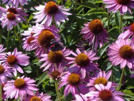 Coneflowers almost original by dimensionten