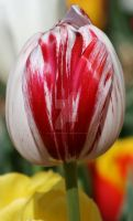 Red and White Tulip by The-Abstract-Mind