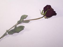 Withered Rose by angel0lynne