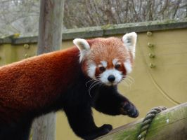 Hello there Mr. Red Panda by sheepgoesmeep