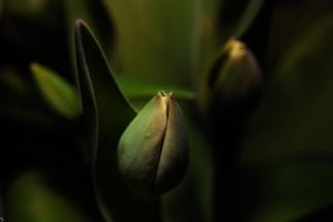Tulip by PenguinPhotography