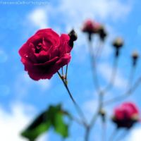 A red rose in the sky by FrancescaDelfino