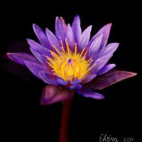 Lotus Flower by Neovirah
