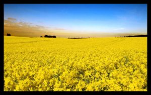 Rapeseed by GrandFlight