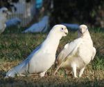 Corellas On The Grass by Macklinin