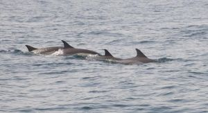 Dolphins in Oman by michelleable