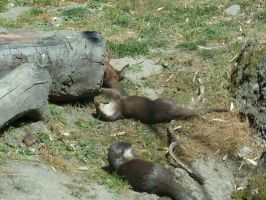 Otters playing in the sun by Jumbled-Journi
