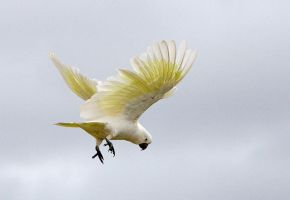 Sulphur Crested Cockatoo 119 by chezem