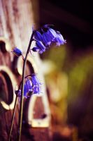 Let the blue bells ring by laufiend