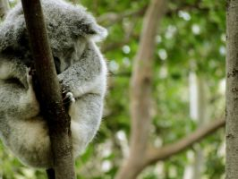 koala by sonyadaley