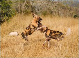 Wild Dogs Playing III by TamarViewStudio