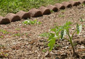 Young Tomato Plant by amm081