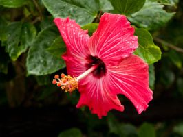 Japanese Hibiscus by sandrability