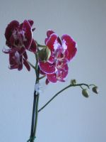 081. Orchid by mynti-stock