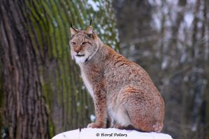 Lynx / Luchs 10 by bluesgrass