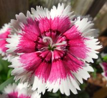 dianthus by crochetamommy
