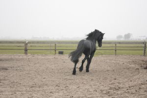 Friesian Stallion 34 by PerfectionStock