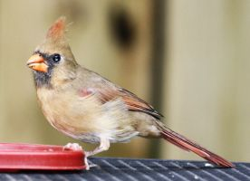 Female Cardinal by BirdyLee
