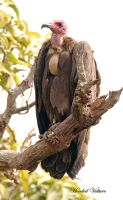 OMG how handsome am I ? - Hooded Vulture by Jamie-MacArthur