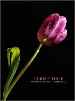 Purple Tulip by OmarAziz