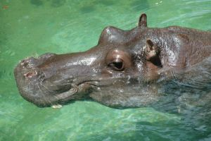 Hippo by photographer1969